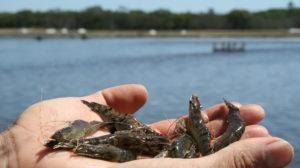 Photo: ARC Research Hub for Advanced Prawn Breeding