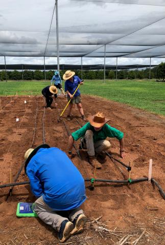 Four people planting sesame plants in red earth in NT